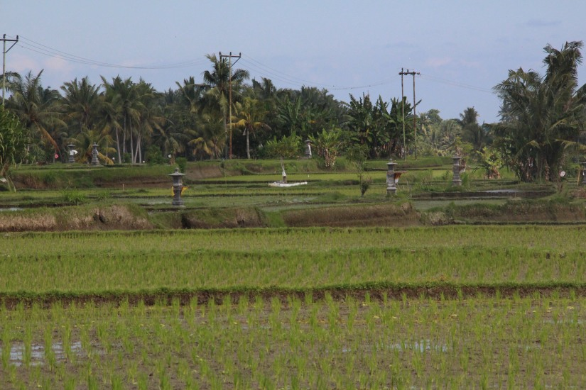 rice fileds - commone to us pinoys - drive westerners crazy. that's why smart resto owners build theirs by some rice paddy